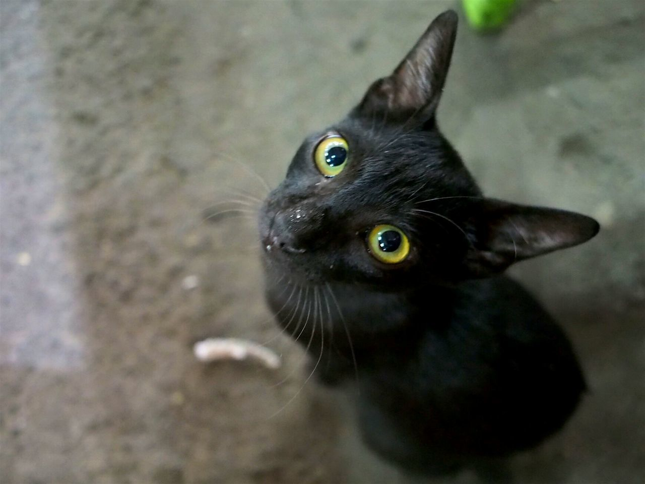 ...starring contest One Animal Yellow Eyes Black Color Animal Themes Domestic Cat Animal Eye Close-up Mammal Outdoors Feline No People Looking At Camera Pets Surabaya City Surabaya Eyeem Indonesia Indonesia_photography Hello World
