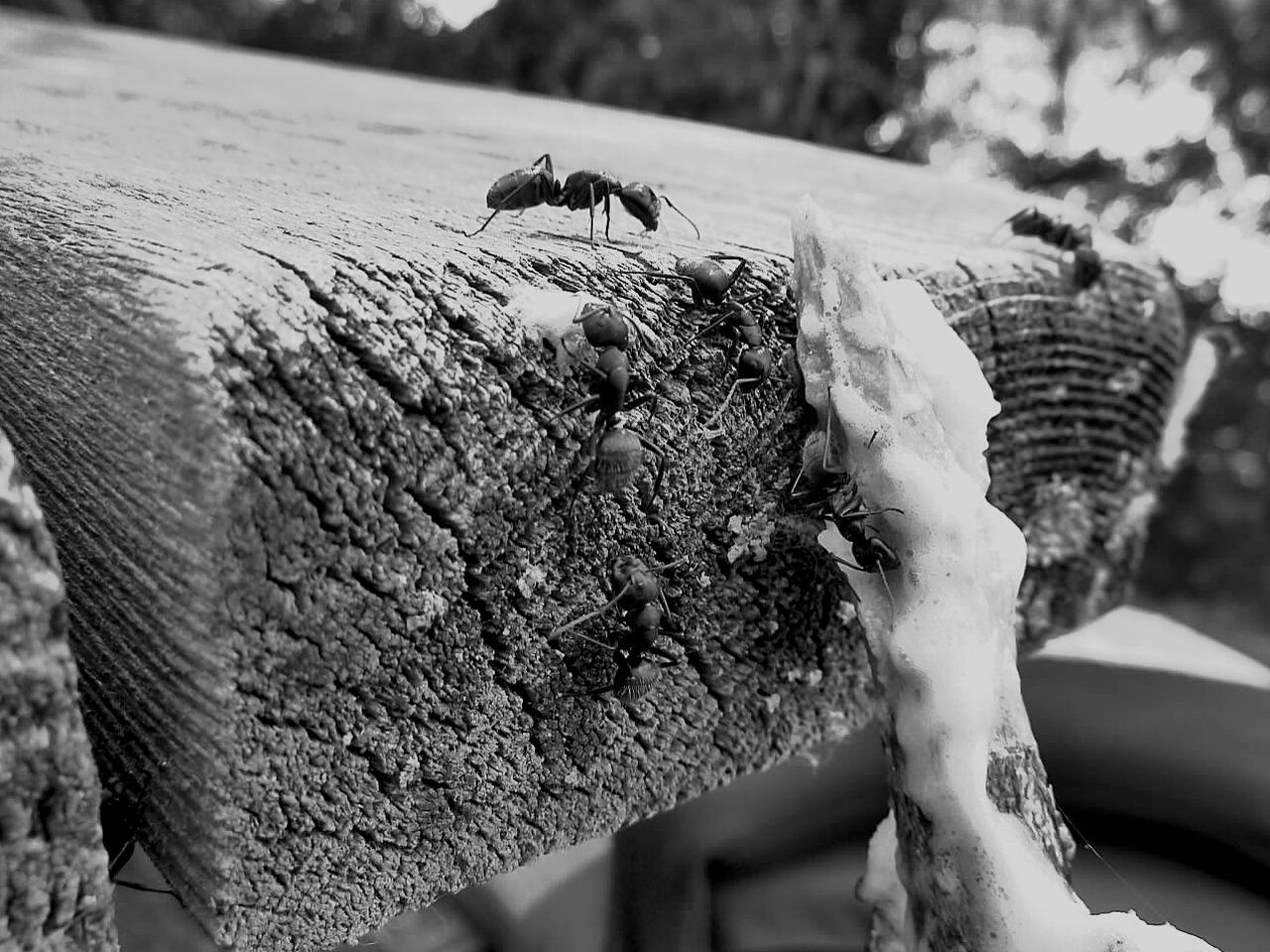 Close-Up Of Ants On Wooden Plank