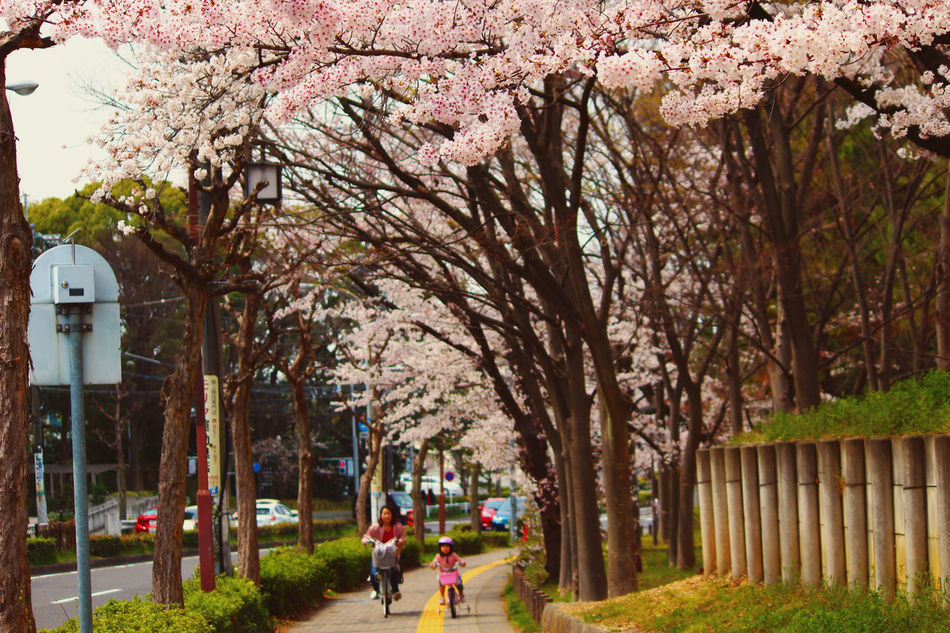 Beauty In Nature Branch Cherry Blossoms Day Flower Growth Nature Outdoors People Pink Color Tree