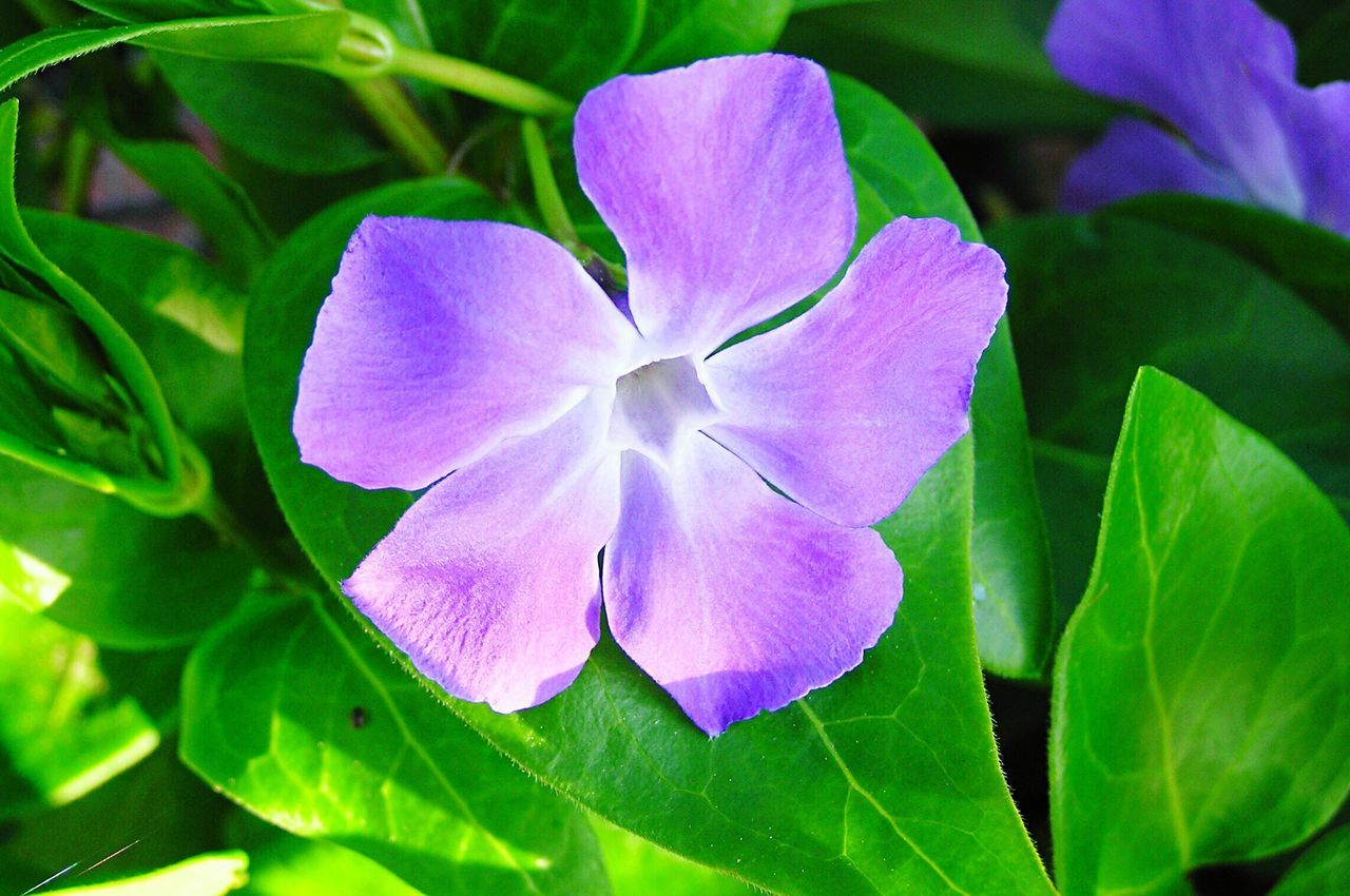 Vinca Vinca Flowers Flower Nature Plant Beauty In Nature Growth Leaf Petal Fragility Freshness Close-up Purple Blooming Flower Head No People Green Color Outdoors Day Flora Floral Garden Purple Flower Nature Close Up
