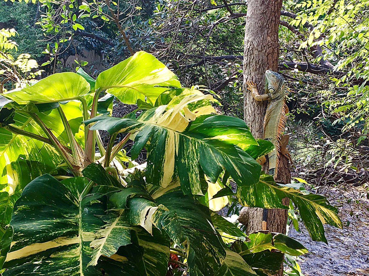 Spot the Iguana Tree Leaf Growth Nature Tree Trunk Green Color Plant Beauty In Nature No People Outdoors Iguana Iguana Photo Iguana In A Tree Forest Freshness Low Angle View Day Tree Area Lush - Description