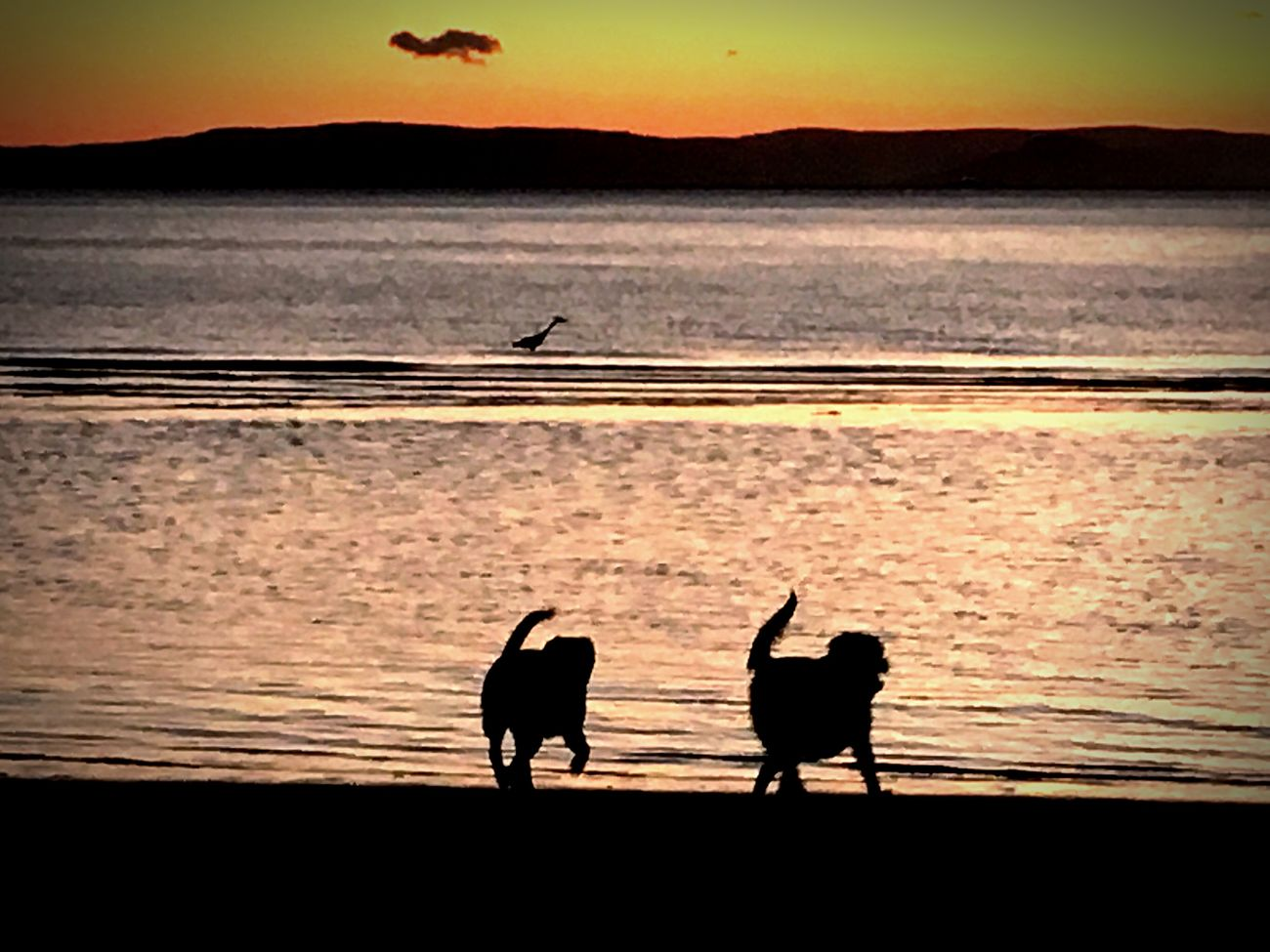 Water Sunset Silhouette Bird Nature Mansbestfriend Scenics Sea Doggos Scotland Isle Of Arran  Togetherness spot the heron Beachphotography