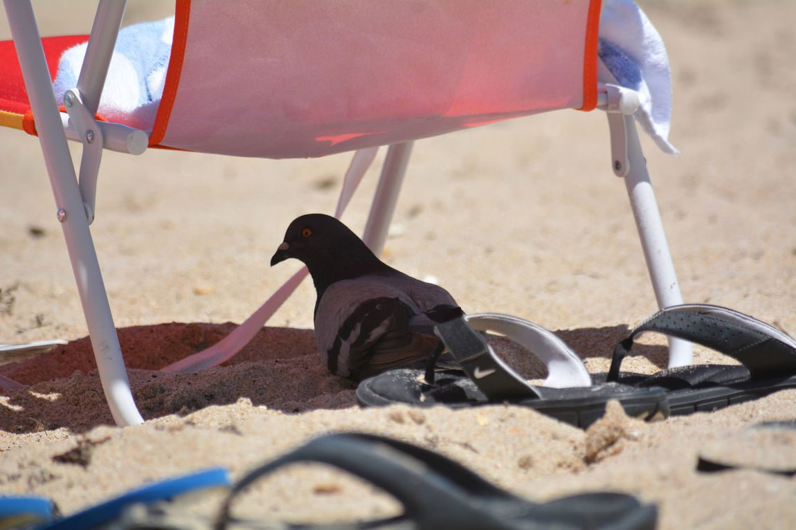 Pigeon finding a bit of shade under a beach chair EyeEm Selects Sand Beach No People Nature Outdoors Close-up Life Is A Beach Beach Life Pigeons Everywhere Beachbum Sunny Day Beach Chairs Relief In Summer