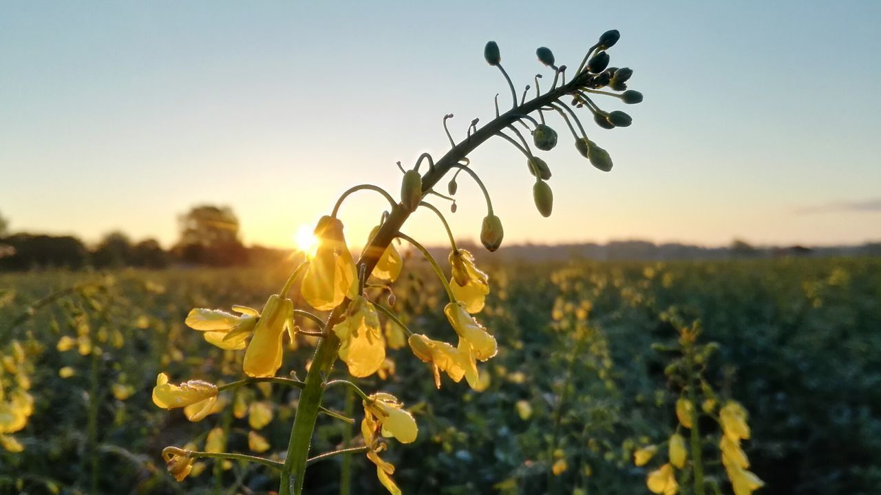 kalter, ruhiger Morgen und ein fantastischer Sonnenaufgang! Morning Sky Landscape Morning Light Morning Sky Field Agriculture Sunlight No People Outdoors Beauty In Nature Sunrise Germany🇩🇪 Rapeseed