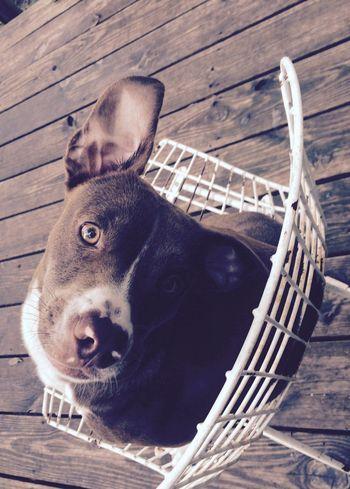 Cute Pets Best Buds Floppy Ears Gold Main Man  Chair Sunny