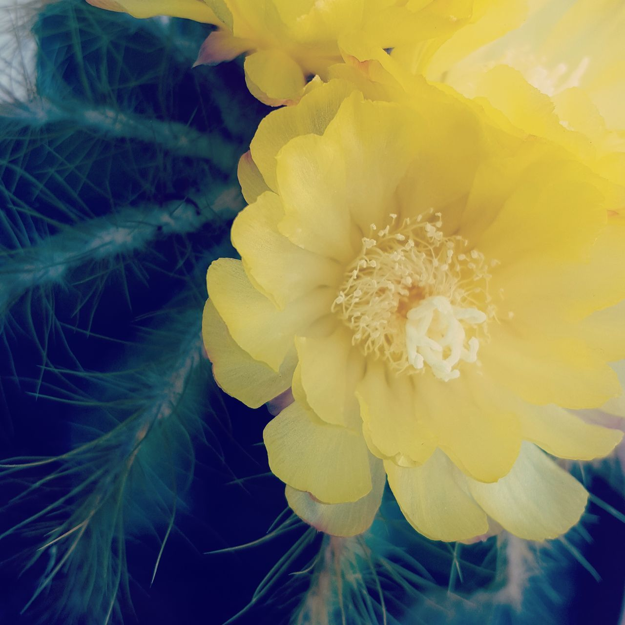 Cactus Flower Cactus Flower Garden Garden Flower Nature S6 Samsungphotography Samsung Galaxy S6 Green Yellow Yellow Flower Prickle Cactus Thorns