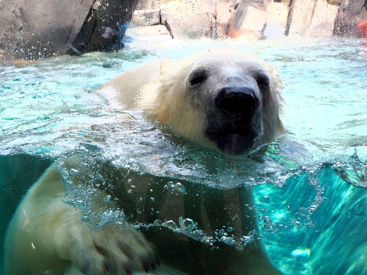 New polar bear at the zoo! Animals Zoo St Louis Missouri Polar Bear Summer Hot Underwater Photography