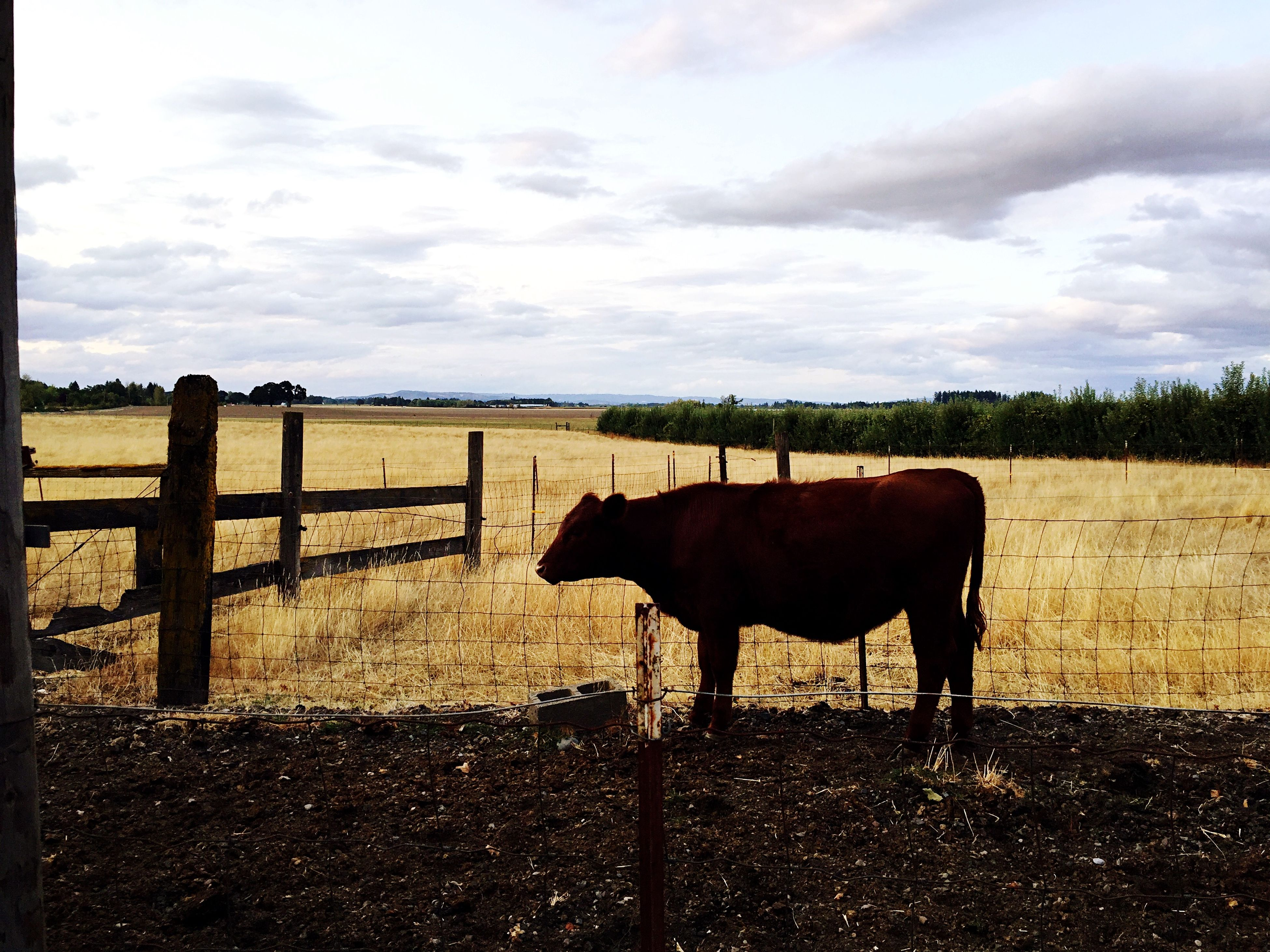 domestic animals, animal themes, mammal, livestock, horse, sky, fence, standing, cloud - sky, field, herbivorous, landscape, grazing, one animal, cloud, cow, working animal, nature, pasture, rural scene