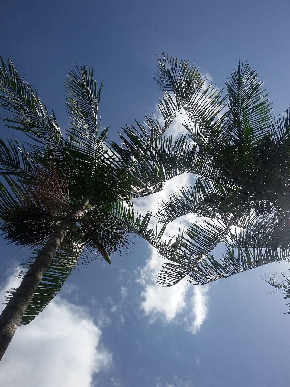 palm tree, low angle view, tree, sky, nature, growth, day, beauty in nature, palm frond, tranquility, no people, tree trunk, outdoors, scenics