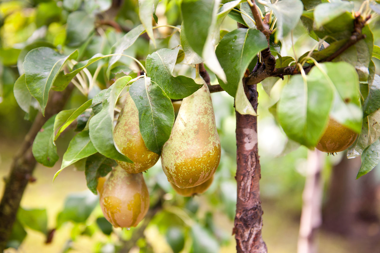 Pear tree ripe fruits cluster grow on twig and green lush foliage, photo taken in Poland, Europe, horizontal orientation, nobody. Branch Food Freshness Fruit Fruit Tree Fruits Grow Growing Hang Hanging Nature No People Outdoors Pear Pear Tree  Pears Sagging  Tree