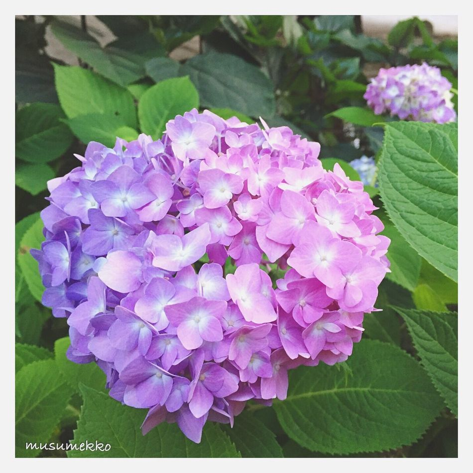 Pink and purple mixed hydrangea. Hydrangea Flowers Pink Purple Beautiful Nature Relaxing EyeEm Gallery IPhoneography EyeEm Best Shots - Nature Nature_collection Landscape_collection EyeEmNatureLover EyeEm Nature Lover Japan Photography Gradation あじさい ピンク 紫 花