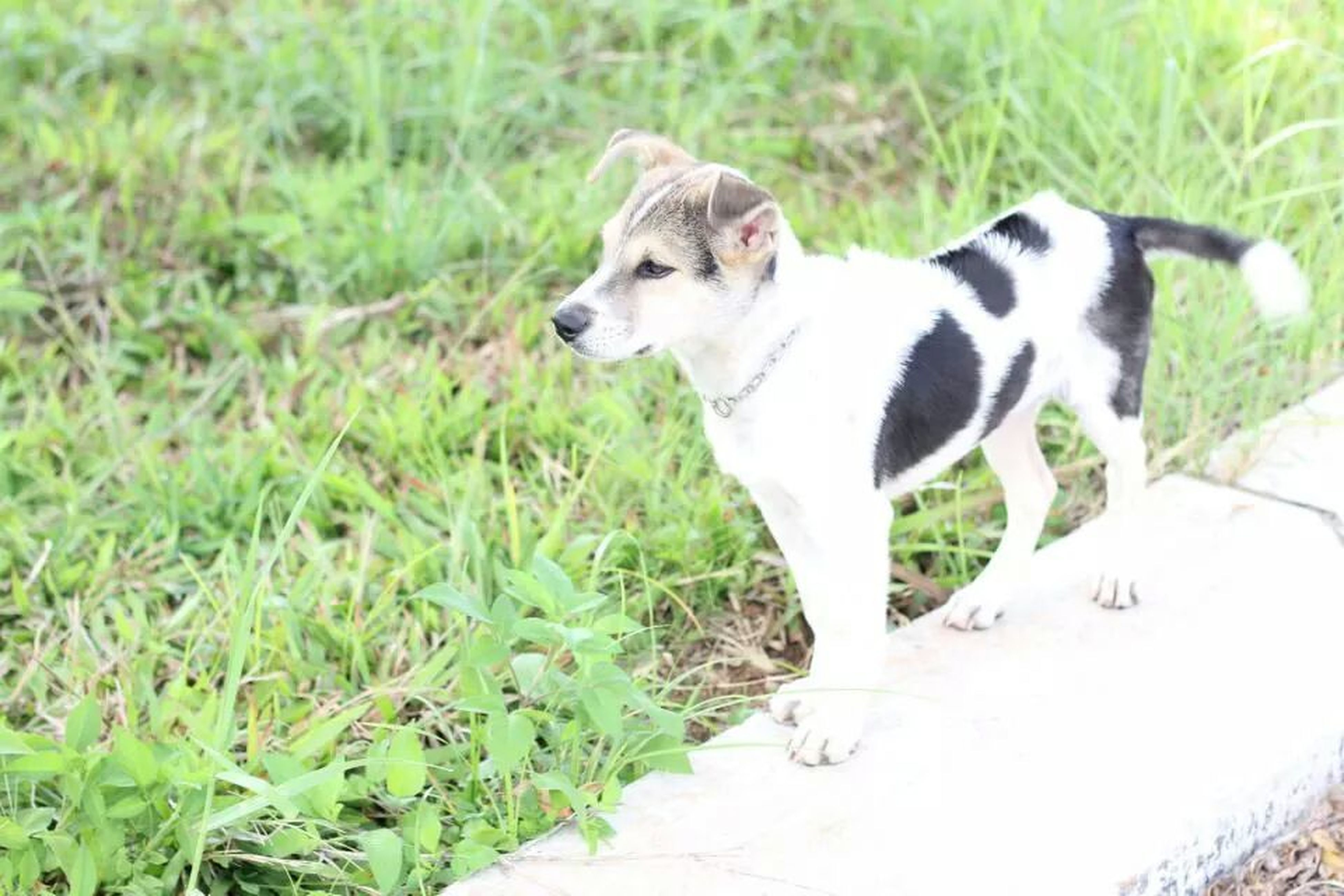 pets, domestic animals, one animal, animal themes, dog, mammal, grass, field, green color, grassy, full length, pet collar, plant, sitting, growth, nature, day, outdoors, looking at camera, no people