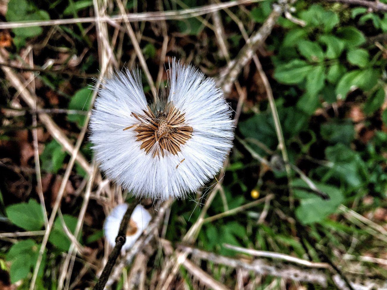 Tussilago Farfara Seeds Flower