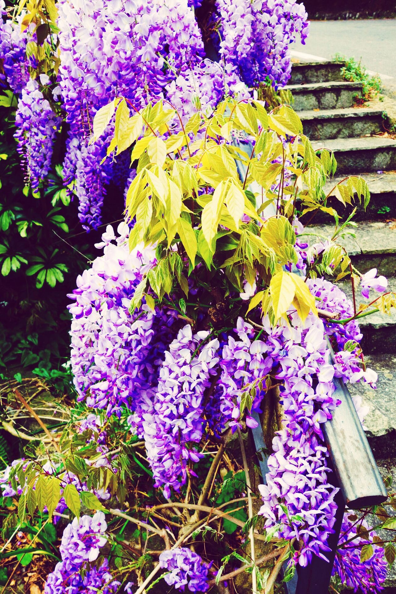 Wisteria Flower Wisteria Glicine Glicineinfiore Spring Flowers Spring Flowers Flower Collection Purple Flower