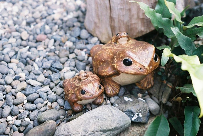 Fujicolor Industrial 100 Pentax SpII Frog Day No People Outdoors Close-up