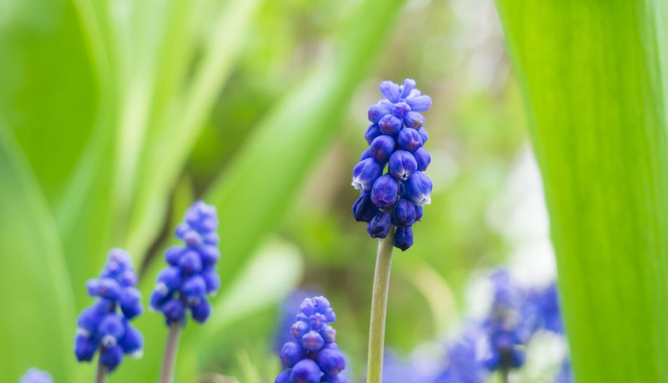 Grape Hyacinths Seasons Hyacinths Grape Hyacinths Flowers Muscari Blooming Purple Green Violet Nature Growth Growing Colors Freshness Garden Plants Spring Flowering Close-up Grass Field Beautiful Outdoor Background