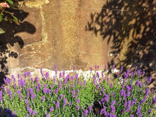 Lavendel in sun Lavenderflower Lavendel Flower Collection Flowers,Plants & Garden Garden Photography Enjoying Life Hanging Out Shadows Shadows On The Wall Light And Shadow Sun Wall