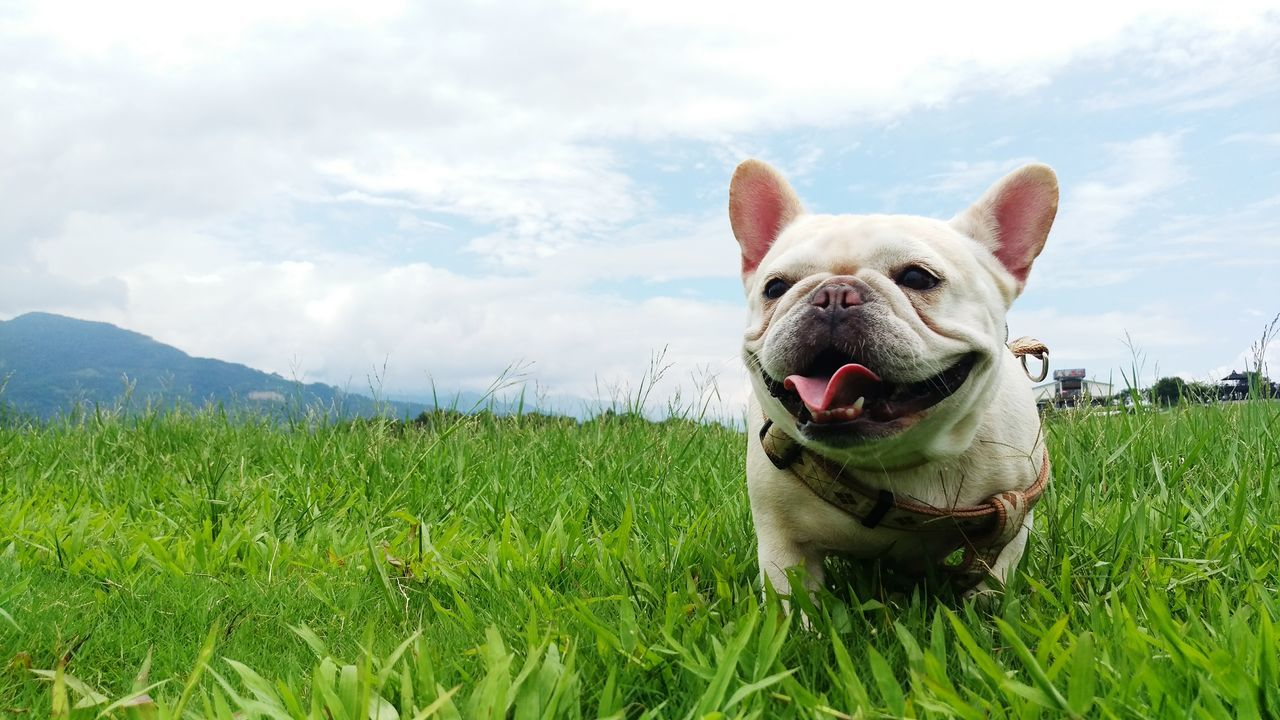 Beautiful stock photos of bulldog, Animal Themes, Beauty In Nature, Canine, Carnivora