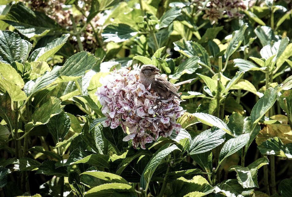 #bird #birds Beak Beaks Breath Breathing Bush Bushes Flower Flowers Freshness FUJIFILM X-T1 Green Color Leaf Leafs Leaves Nature One Animal Plant Sparrow Sparrows Sparrows Feeding Wing Wings