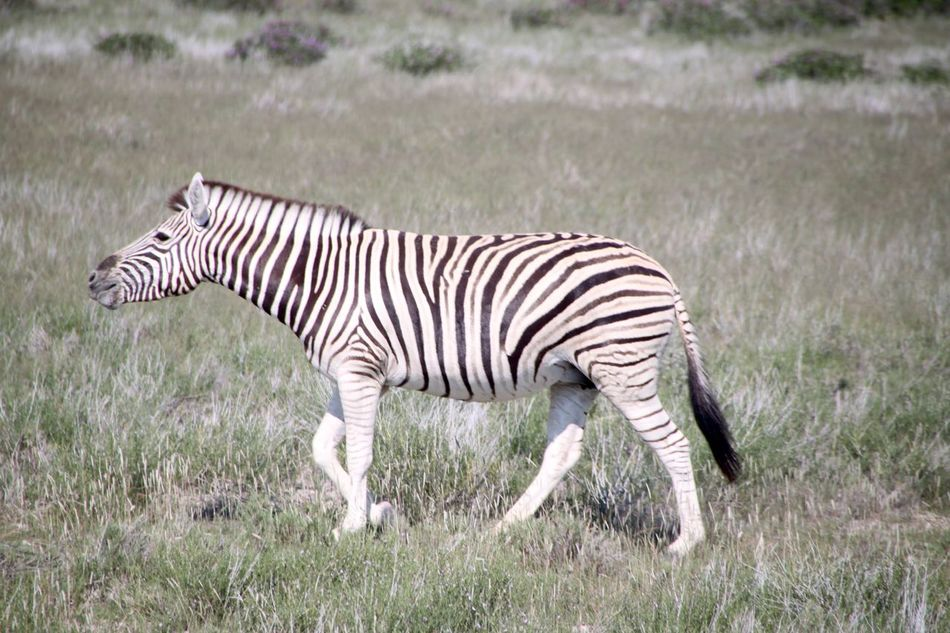 Beautiful stock photos of zebra, , Animal Themes, Beauty In Nature, Day