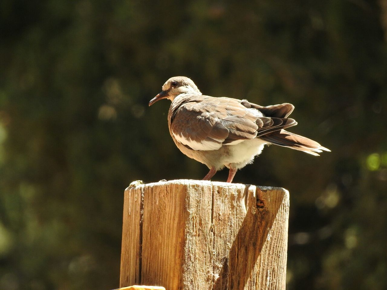 Beautiful stock photos of dove,  Animal Themes,  Animal Wildlife,  Animals In The Wild,  Beauty In Nature