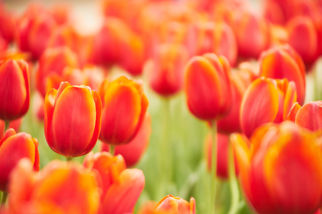 Close-Up Of Red Tulips Blooming In Park