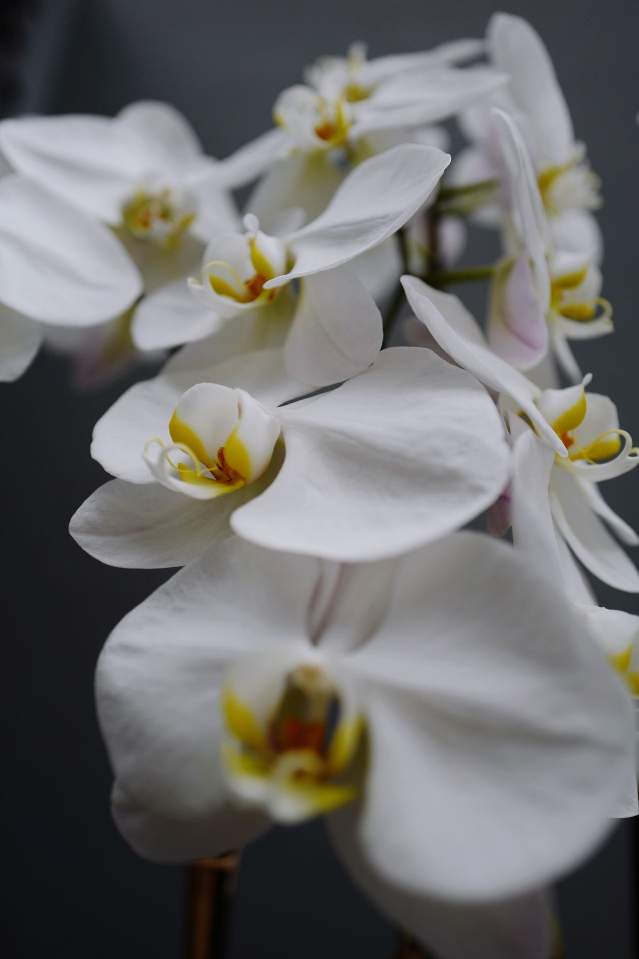 Orchid Blossoms   Nature Photography   Macro Photography mode on LEICA Q Typ116