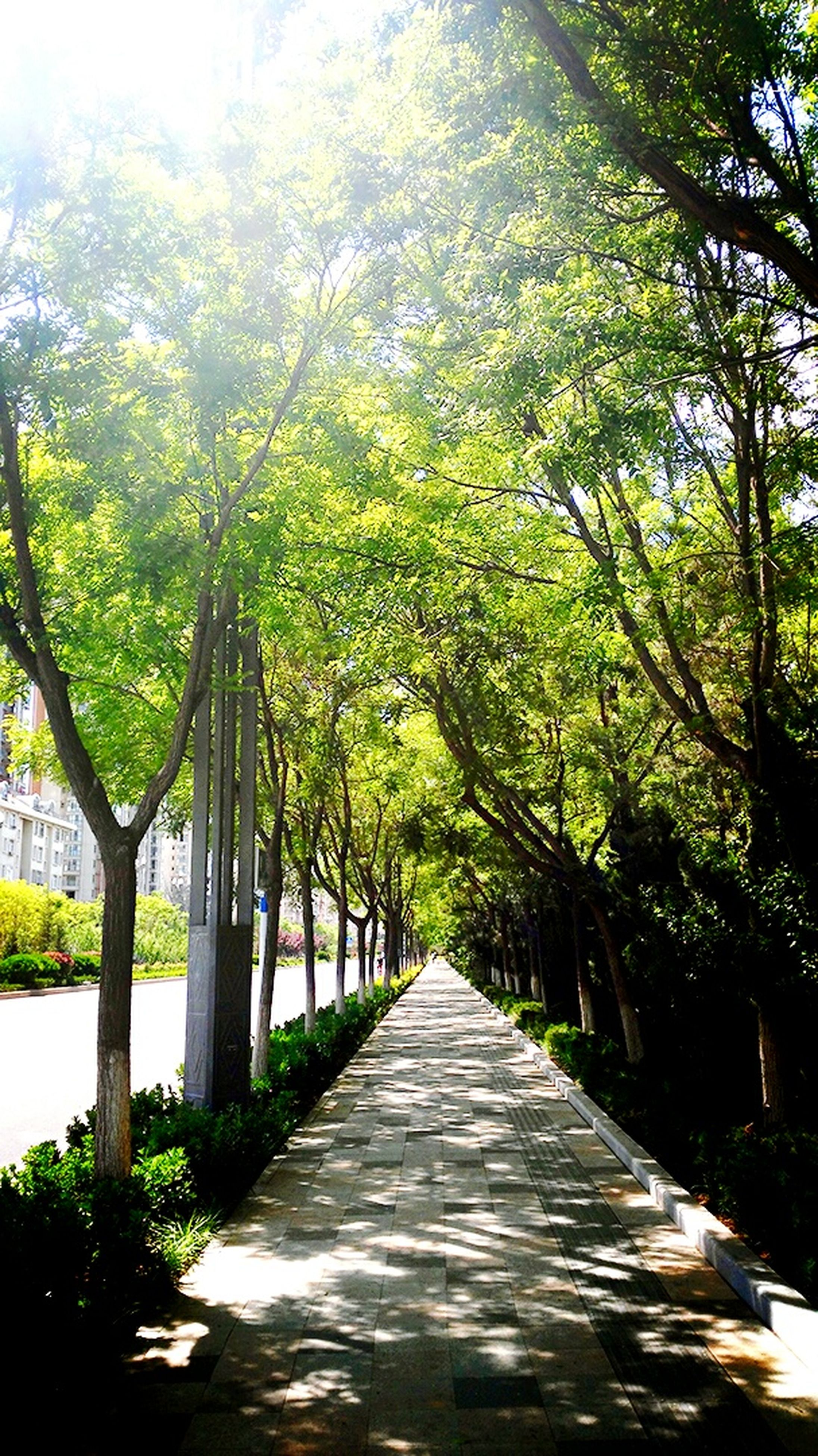 tree, the way forward, diminishing perspective, vanishing point, growth, treelined, branch, footpath, empty, park - man made space, tranquility, sunlight, nature, walkway, tree trunk, railing, transportation, long, green color, day