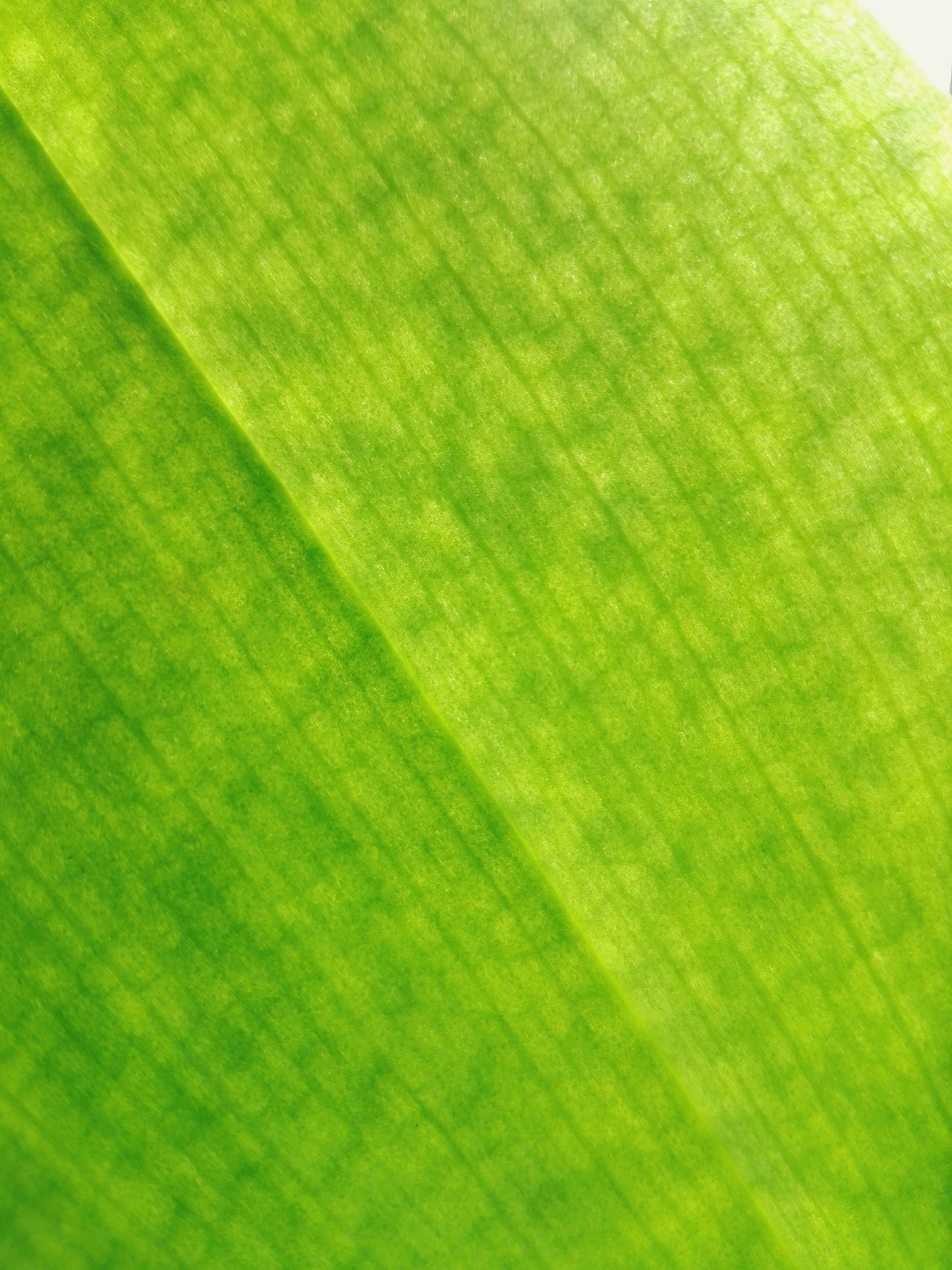 Green Color Backgrounds Full Frame Close-up No People Nature Day Details Of Nature Details Textures And Shapes Leaf Vein Orchid Leaf Phalaenopsis Orchid Leaf