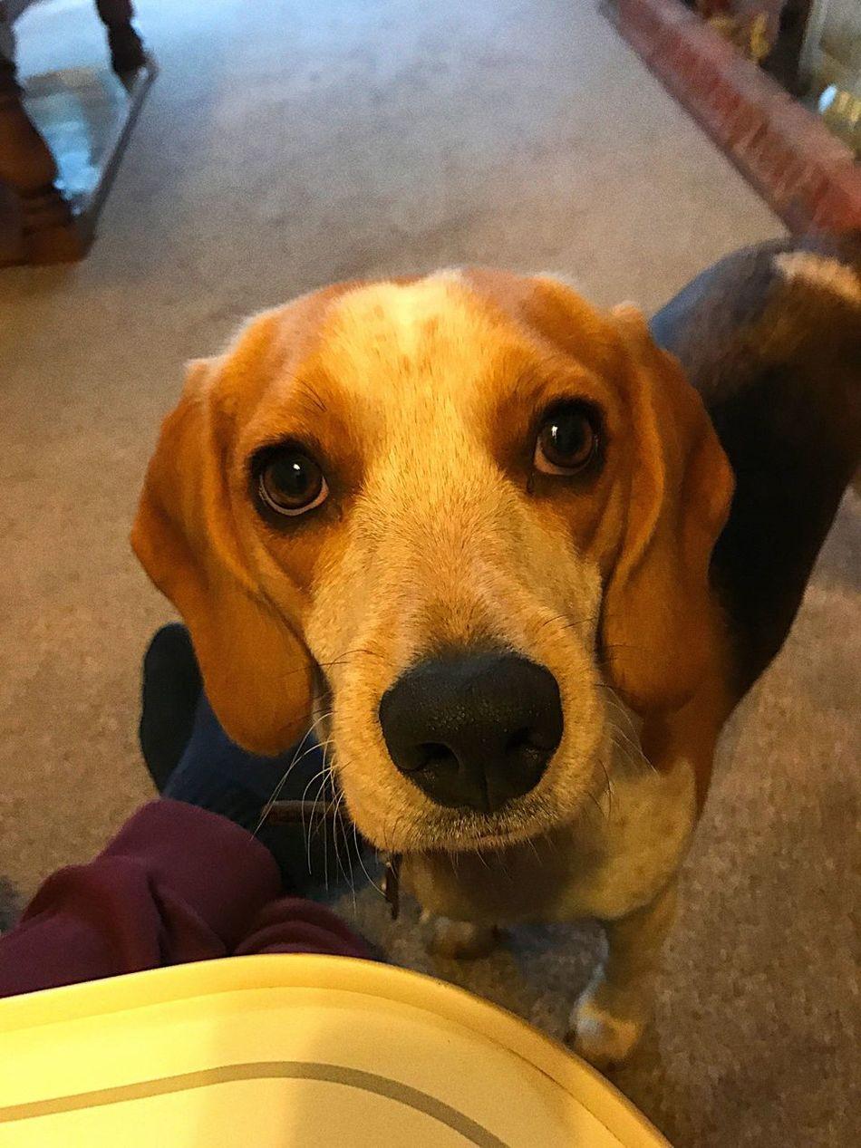 Beagle Young Dog Beagle Beaglelovers Beagleoftheday Beaglelife Beagl