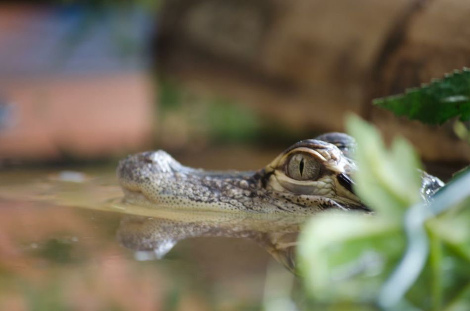 One Animal Animal Themes Reptile Wildlife Close-up Animal Head  Focus On Foreground Reflection Water Animal Eye Nature No People Kaiman