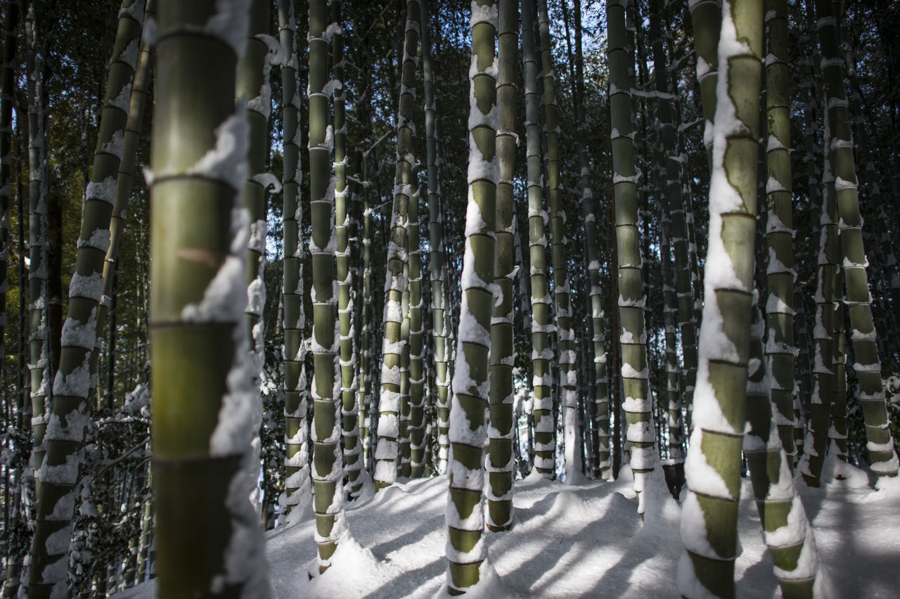 Abundance ASIA Bamboo Bamboo Forest Bamboo In Snow Close-up Day Full Frame In A Row Japan Kyoto Nature Nature No People Outdoors Repetition Snow Tranquility Tree Tree Trunk