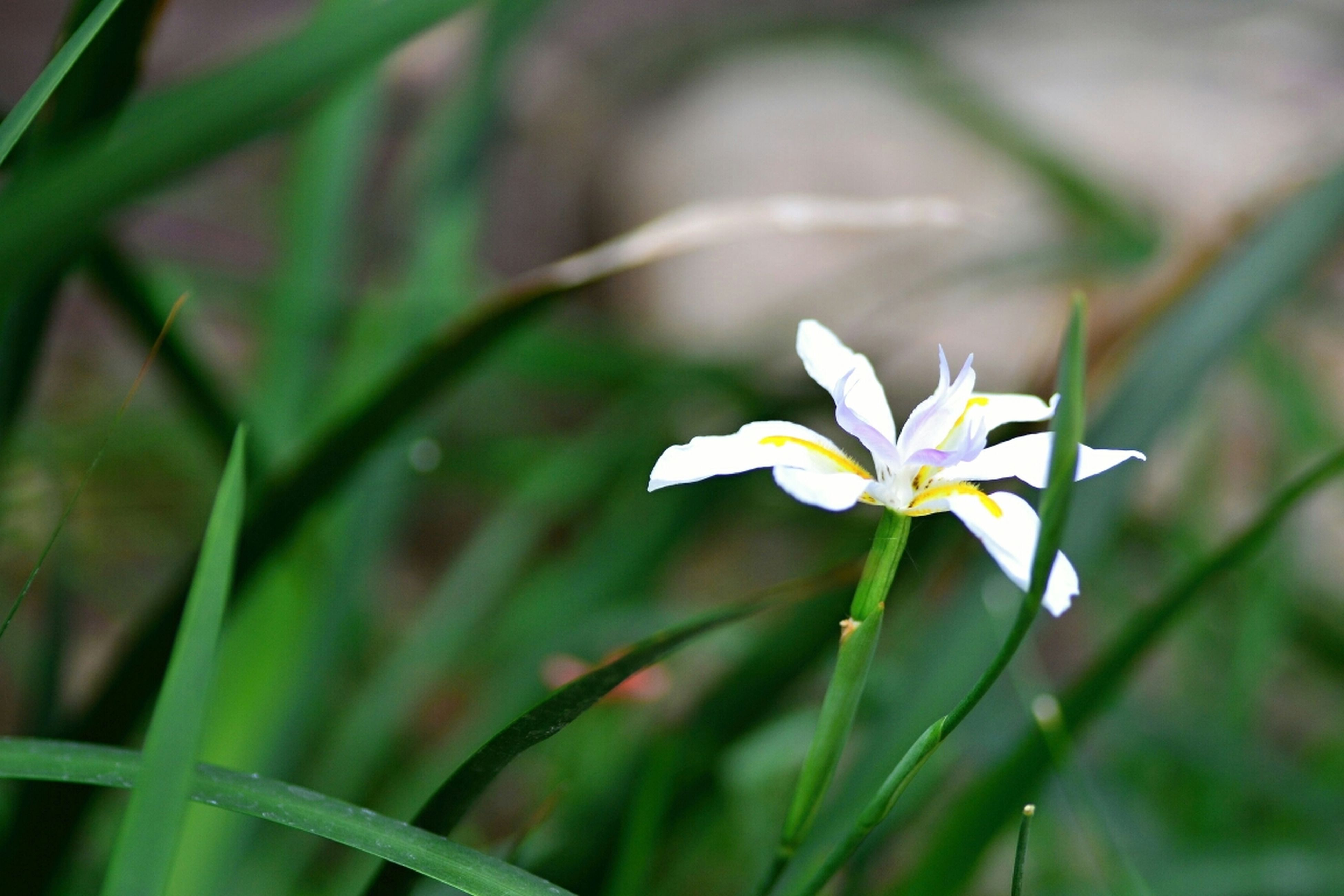 flower, freshness, fragility, petal, growth, flower head, white color, beauty in nature, focus on foreground, close-up, stem, nature, plant, blooming, field, white, selective focus, in bloom, single flower, green color