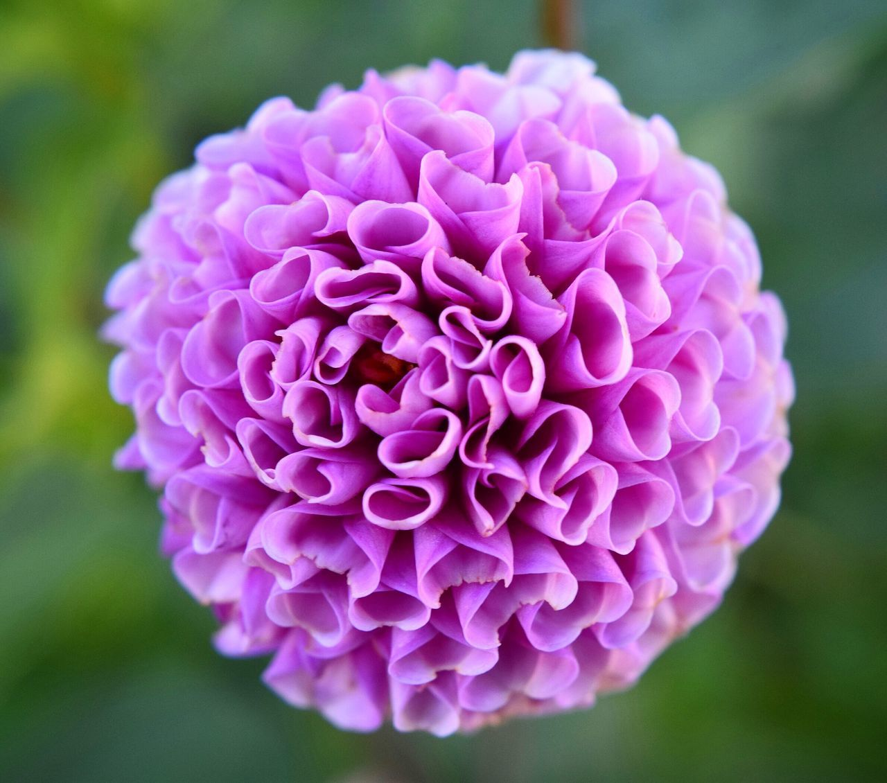 flower, beauty in nature, growth, petal, nature, fragility, focus on foreground, flower head, close-up, freshness, purple, blooming, no people, outdoors, day, plant