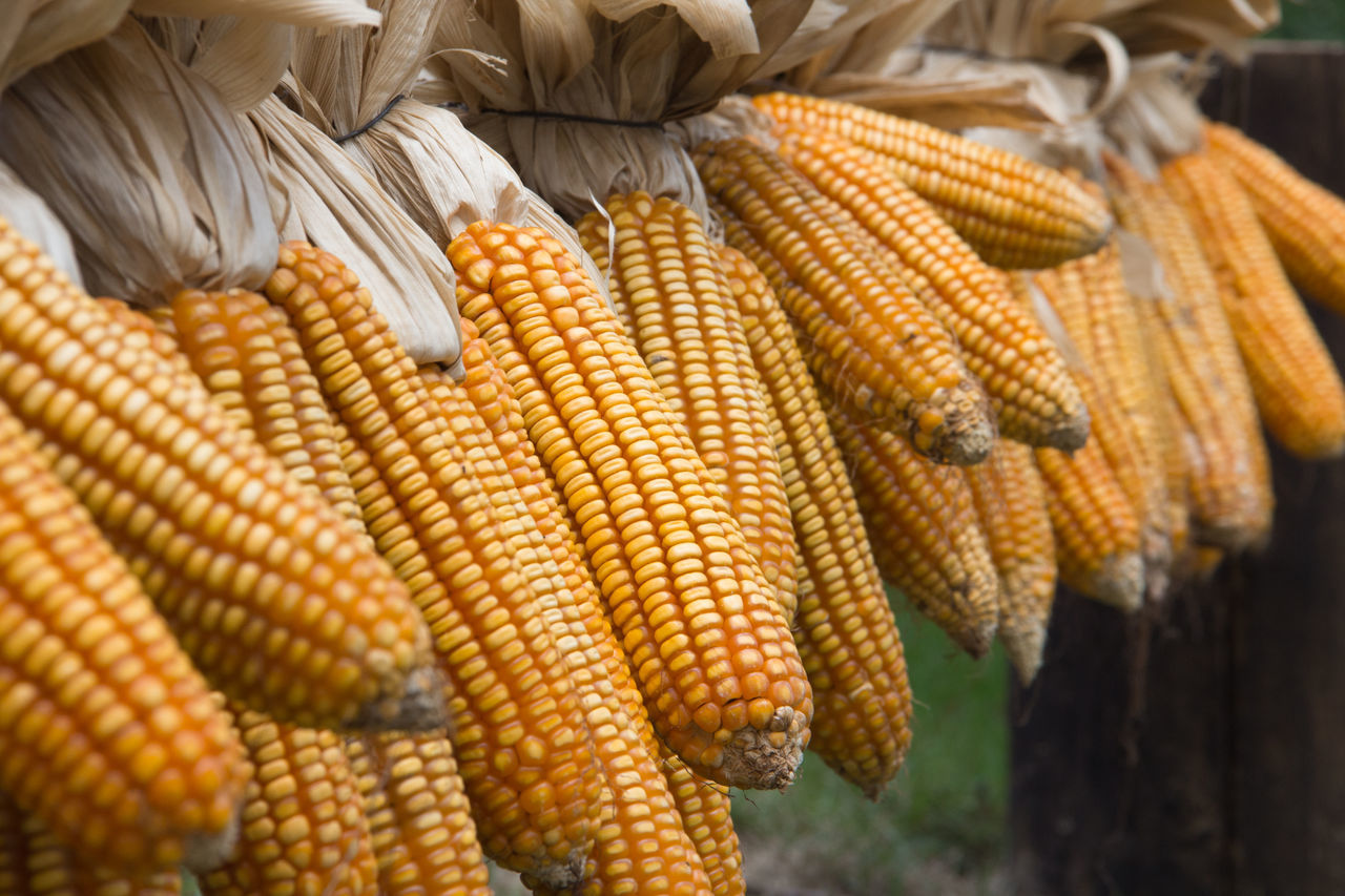 corn on the cob, corn, food and drink, food, no people, close-up, freshness, healthy eating, outdoors, yellow, hanging, day, nature