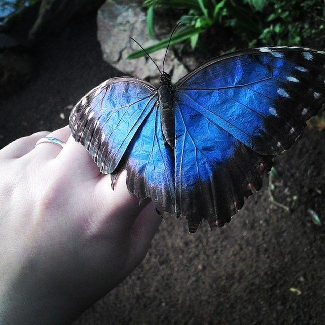 Butterfly Blue Naturospace Honfleur
