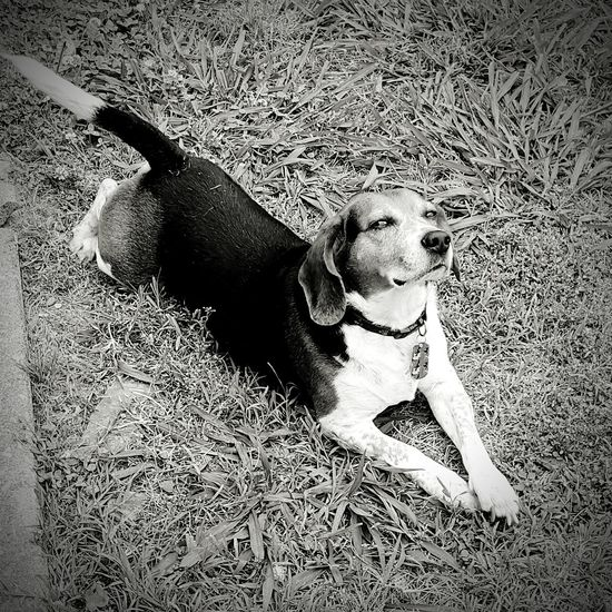 Hanging Out Beaglelovers Beagleoftheday Beaglelife Lazy Days Relaxing Beagles Of Eyyem Beagleselfie Dogslife Dogs Of EyeEm Chilling At Home Grassbetweenmytoes Fresh On Eyeem  That's Me Hello World Cheese! Taking Photos Showcase June