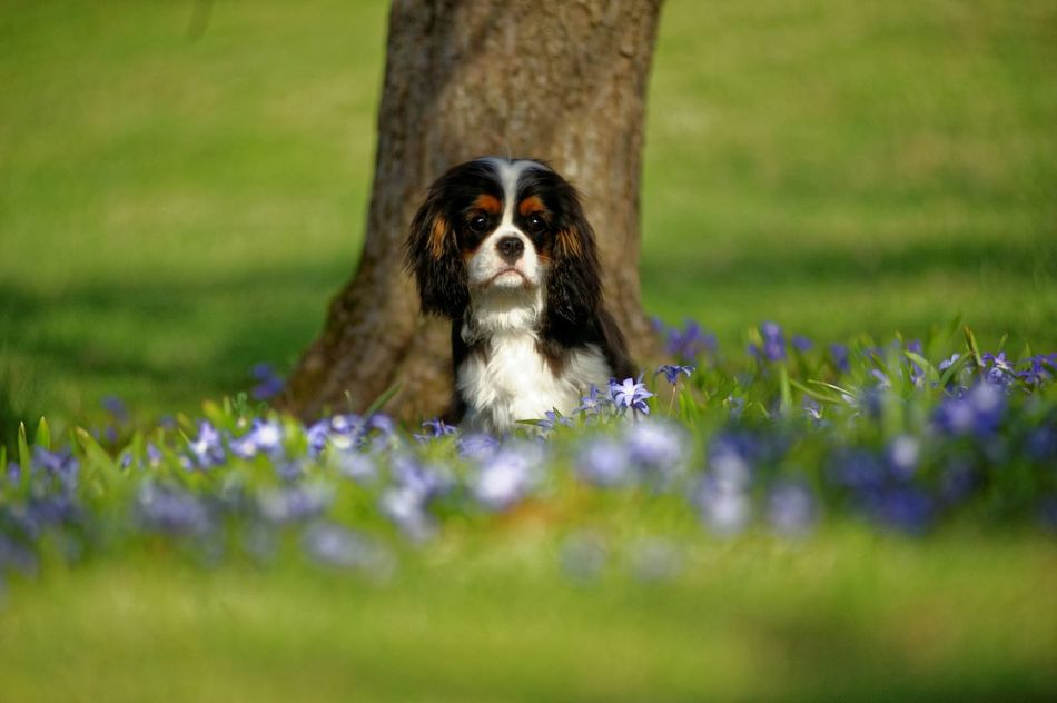 Nylo and Beautiful Spring Flowers Cavalierkingcharlesspaniel Puppy Cavalier Ckcs Beautiful Cavalier Dog Love Cavalierking Cavalier  Puppy Dog Cavalierkingcharles Methuen