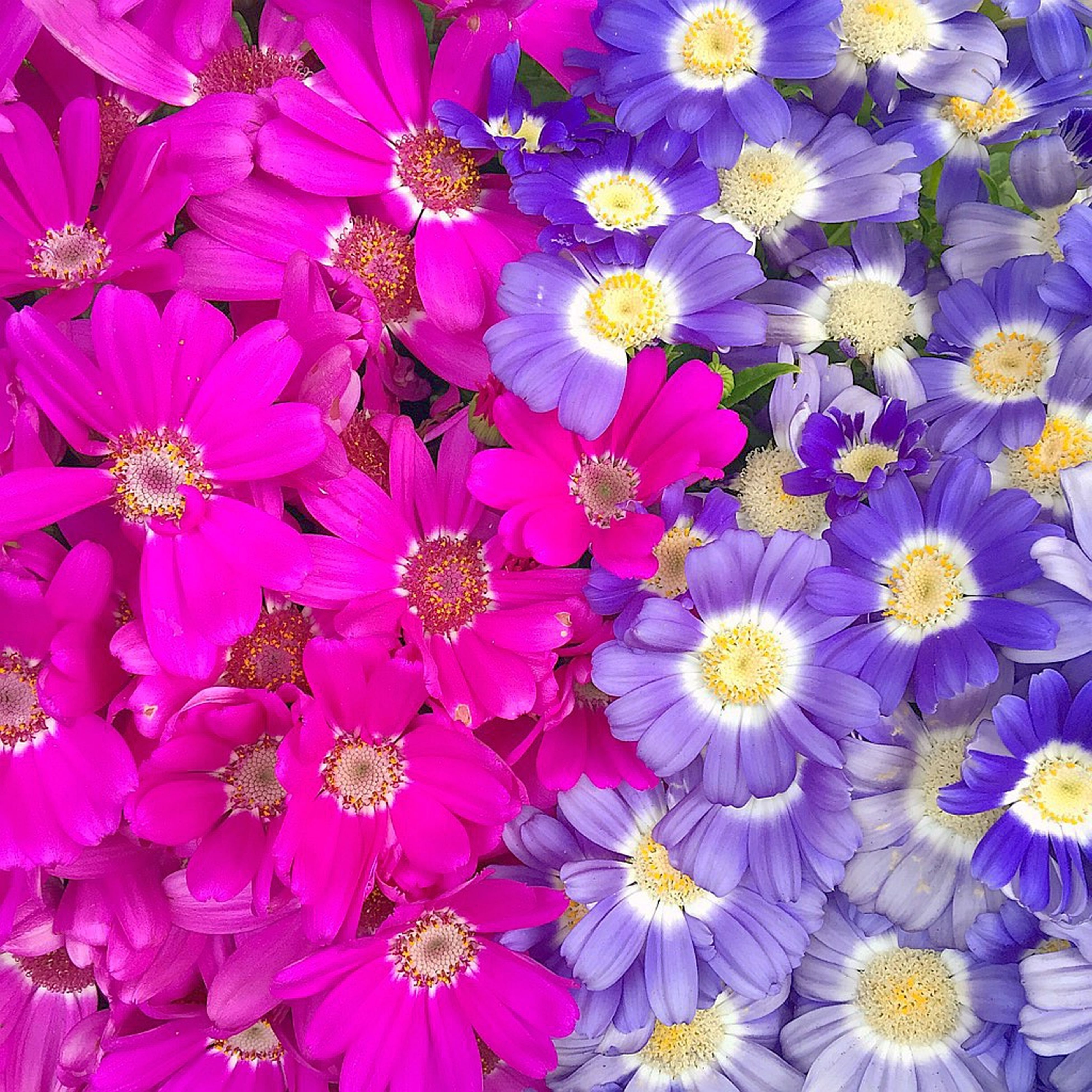 flower, freshness, petal, fragility, full frame, flower head, beauty in nature, backgrounds, growth, blooming, nature, high angle view, abundance, pink color, purple, plant, close-up, in bloom, yellow, pollen