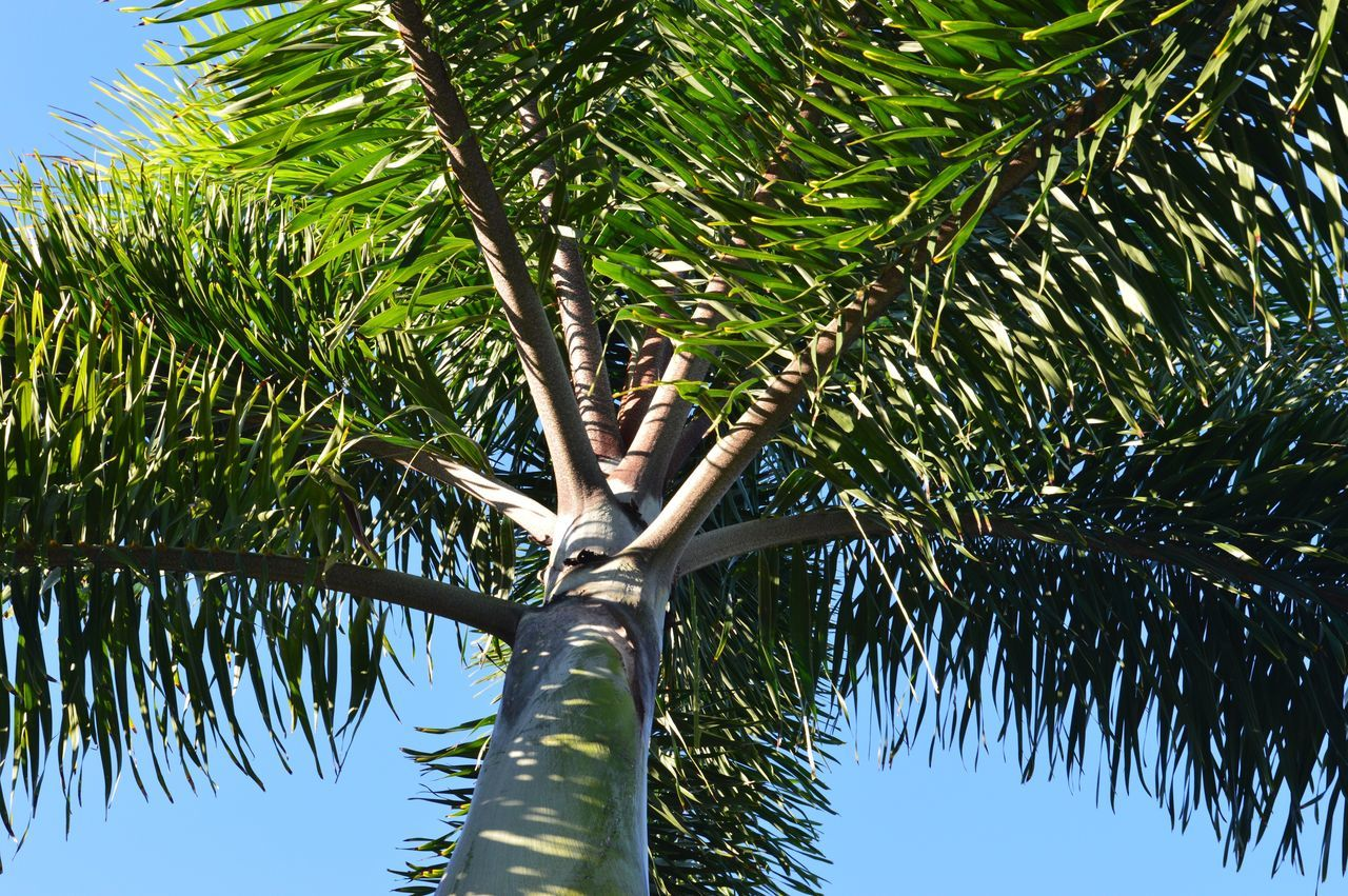 tree, low angle view, palm tree, green color, growth, tree trunk, nature, day, beauty in nature, tranquility, outdoors, no people, branch, sky