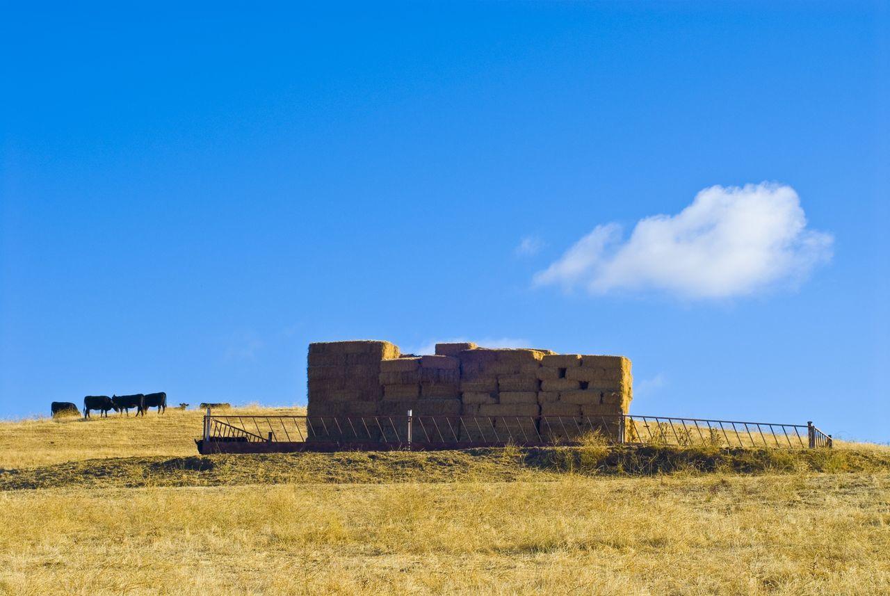 """""""Rainy Day Stash"""" Hay Hay Bales Hay Bale Field Fields Of Gold Fields Fieldscape Cows Grazing Grazing Cattle"""