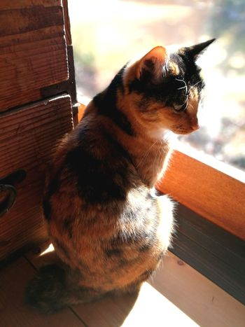 Calico Cat Sitting Window Old Cabinet Sunlight Love Cat Cute Cat Portrait No People Indoors  Pets Fur Japanese Traditional House Whisker Domestic Cat