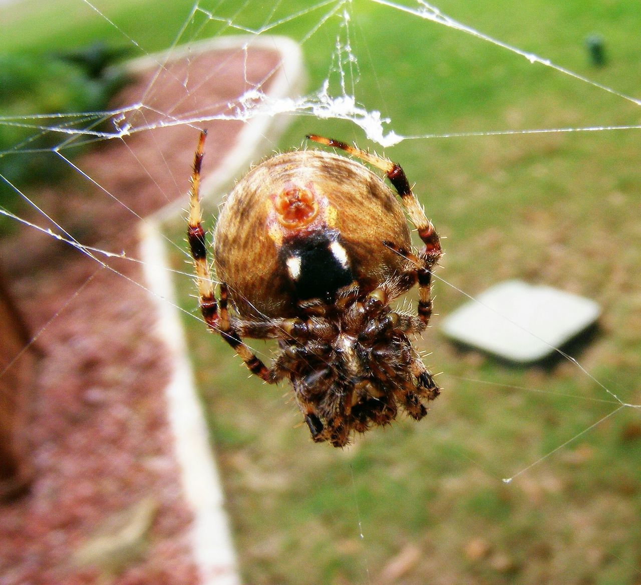 Good View of Its Spinneret , Spider Trying to Stay Warm Animal Wildlife Arachnid Arachnophobia Beauty In Nature Close-up Focus On Foreground Intricacy Macro Beauty Spider Spider Web Spiderworld