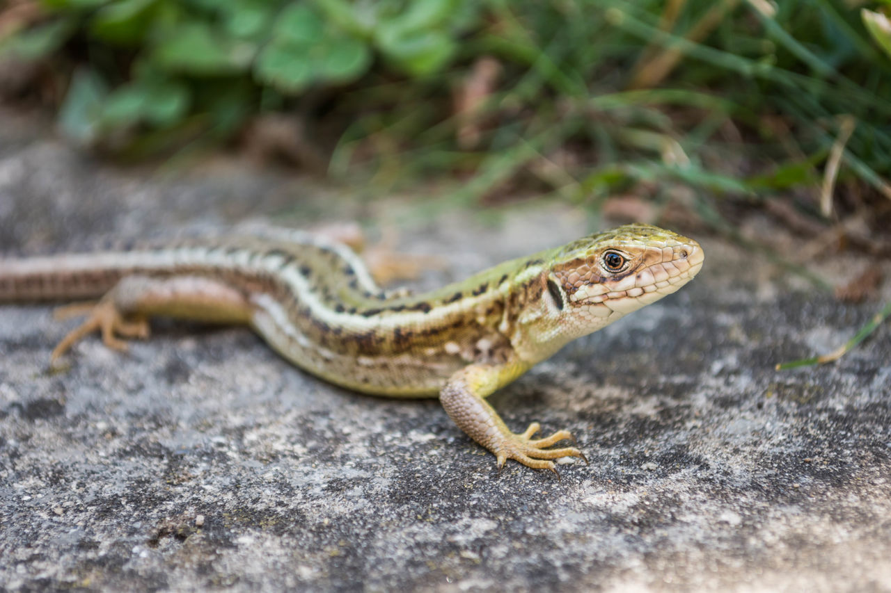 one animal, reptile, animals in the wild, animal wildlife, animal themes, day, outdoors, nature, no people, close-up