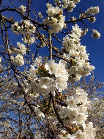 Kirschblüten  Kirschblüte Cherry Blossoms Cherry Cherry Blossom Cherry Tree Spring Springtime