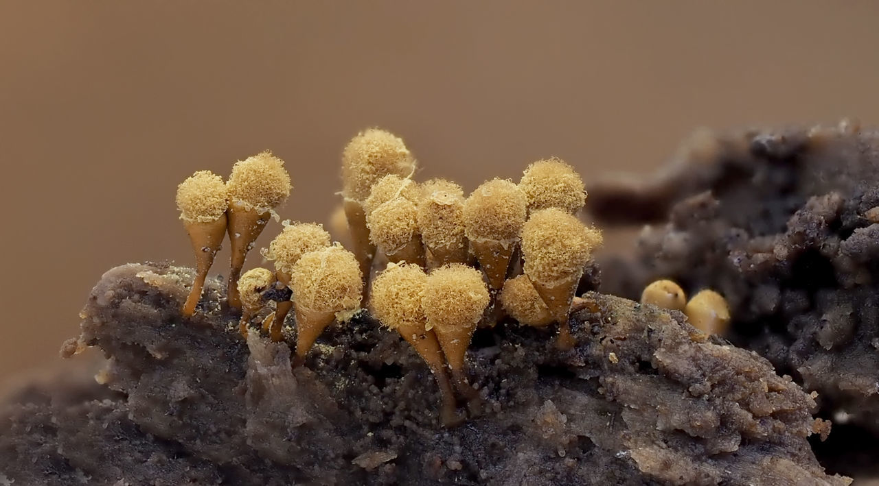 "Myxomyceten 2-3 mm, Hemitrichia (""Schleimpilze"") 2-3 Mm Best Shots Nature Mushrooms Myxomyceten Tree Trunk Very Small Beauty In Nature Close-up Day Forest Hemitricia Macro Nature No People Pilze Schleimpilze Single-cell Organism Wood - Material Yellow Hemitrichia Calyculata"