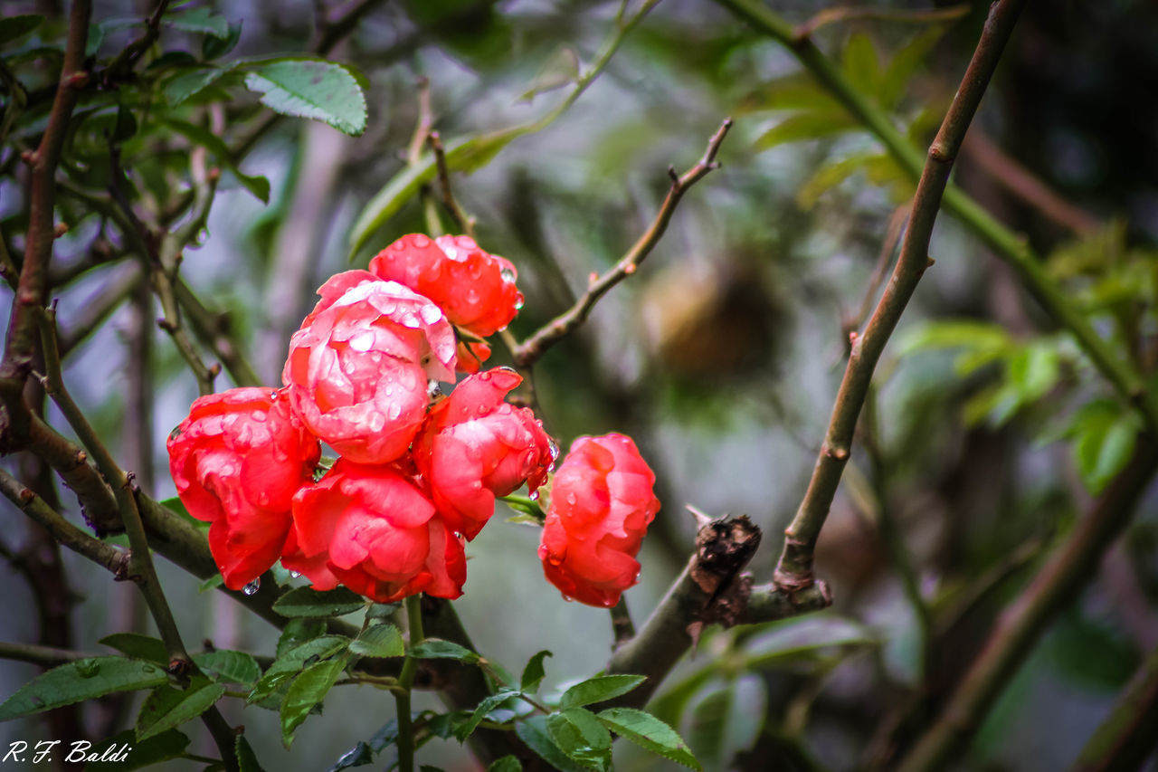 red, growth, fruit, nature, focus on foreground, beauty in nature, day, tree, growing, plant, outdoors, freshness, no people, food and drink, rose hip, green color, close-up, leaf, branch, flower, food