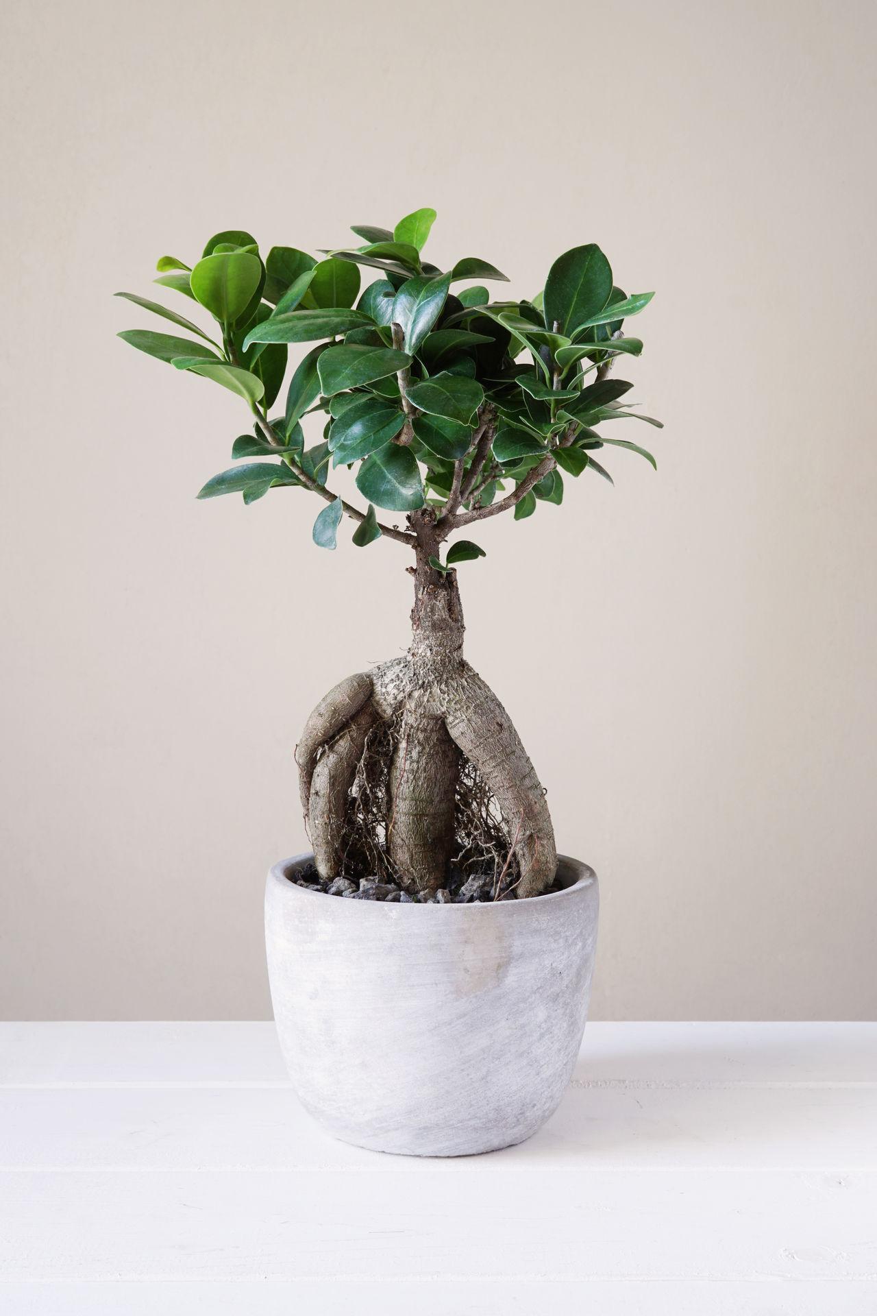Bonsai Ginseng or Ficus Retusa Bonsai Ficus Ficus Ginseng Ficus Retusa Ginseng Growth House Plant Houseplant Indoor Miniature Minimalism Plant Potted Plant Tree