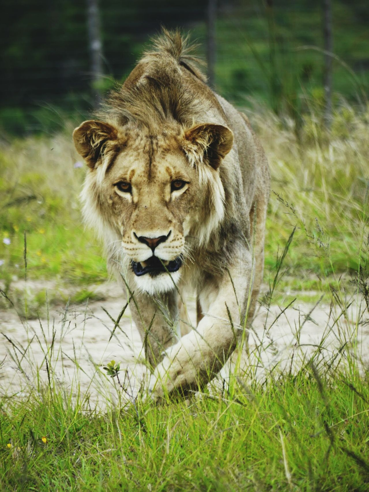 Beautiful stock photos of lion, Animal Themes, Animals In The Wild, Beauty In Nature, Day
