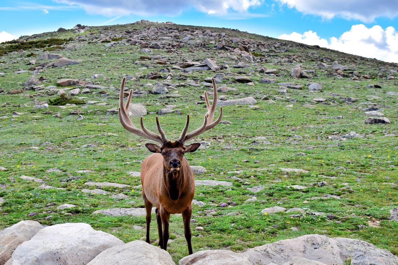Elk Colorado Estes Park, CO Wildlife
